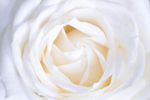 rosa bianca roseto parco san giovanni trieste OPP guida turistica