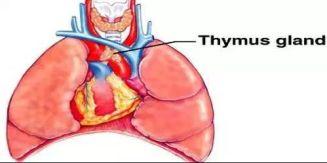 Thymus Glands