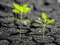 Phloem Translocation in Plants