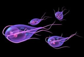 Zooflagellates