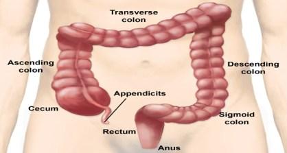 large intestine (digestion)