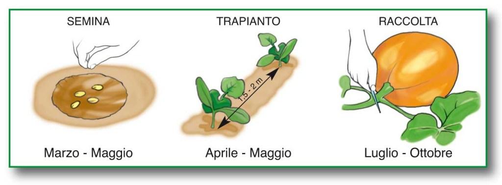 zucca-piantare-semi