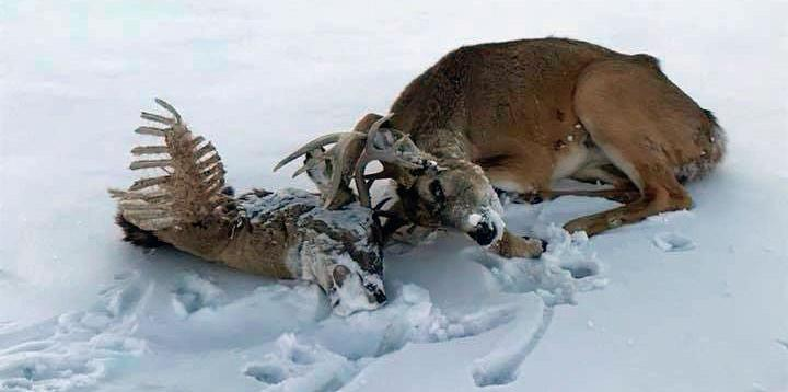 Snowmobiler Rescues Entangled Buck From Severed Head  Guide Outdoors