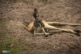 Kangaroo - Discovery Island Trails - Animal Kingdom Attraction