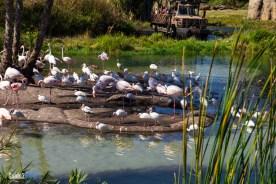 Flamingos - Kilimanjaro Safaris - Animal Kingdom Attraction