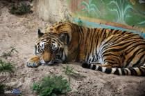 Tiger - Maharajah Jungle Trek - Animal Kingdom Attraction