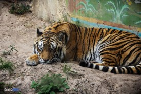 Tiger - Maharajah Jungle Trek - Animal Kingdom Attraction