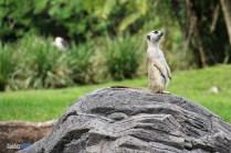Meerkat - Pangani Forest Exploration Trail - Animal Kingdom Attraction