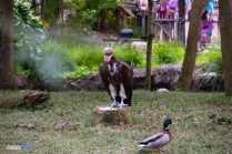 Vulture - Discovery Island Trails - Animal Kingdom Attraction