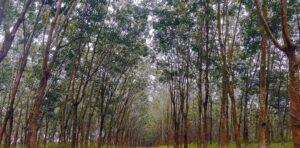 রামু রাবার বাগান কক্সবাজার