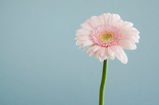 Pink gerbera up close