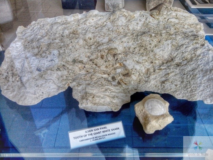 dent de requin blanc megalodon 20 milions avant jesu christ malte