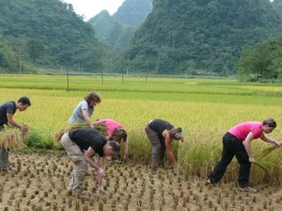 Recolte de riz