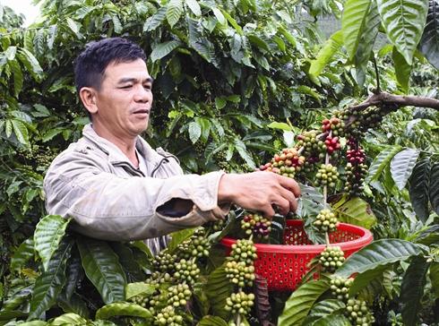 Plantation de Cafe dans le haut Plateau du Vietnam