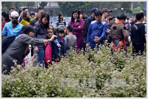 Les fleurs de sarrasins créent une forte curiosité vis-à-vis des visiteurs de Hanoi