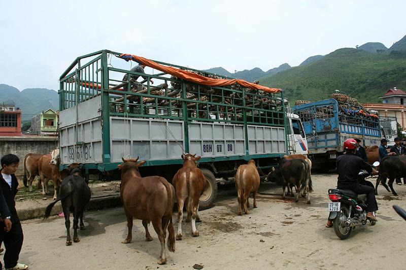 visite marches ethniques vietnam bœufs.jpg