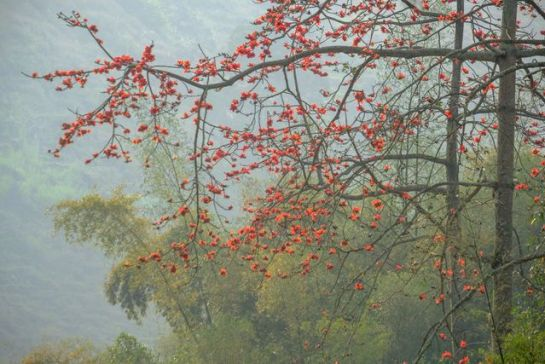 visiter ha giang au printemps fleur bombax.jpeg