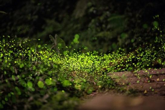lucioles au parc national de cuc phuong