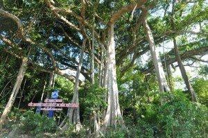 Le banian vieux de 800 ans trônant dans la réserve naturelle