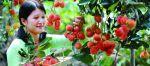 Cueillir des fruits au Sud Vietnam