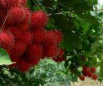 Le jardin fruitier de Cai Mon