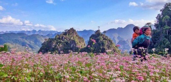 Saison des fleurs de sarrasin en voyage Hà Giang