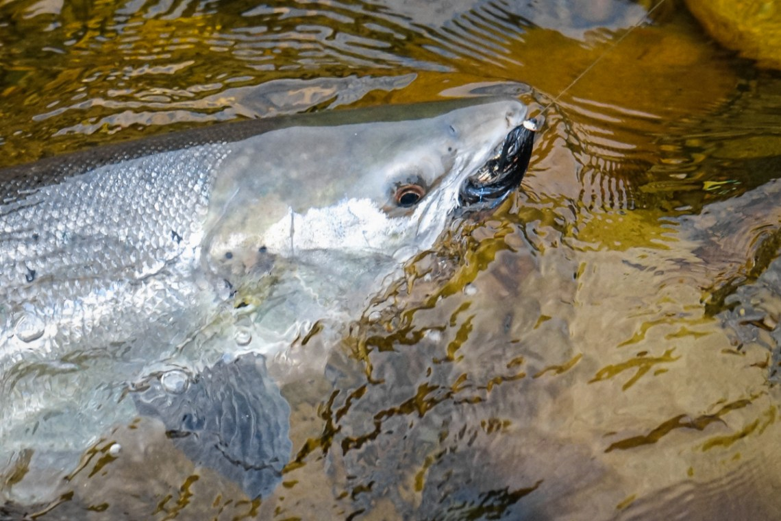 Fabrice-Gaula-Salmon-2017-2