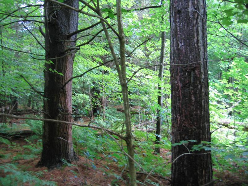 'america's forest' with host chuck leavell of the rolling stones explains how forests can help climate change, the economy and so much more. Pine Northern Hardwood Forest Guide New York Natural Heritage Program