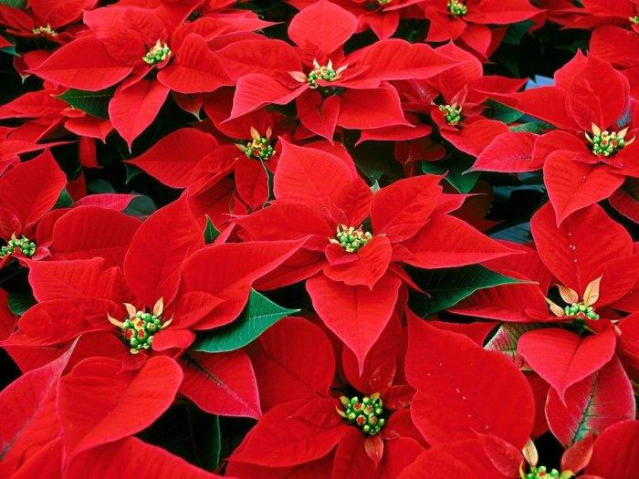 poinsettia-christmas-flower