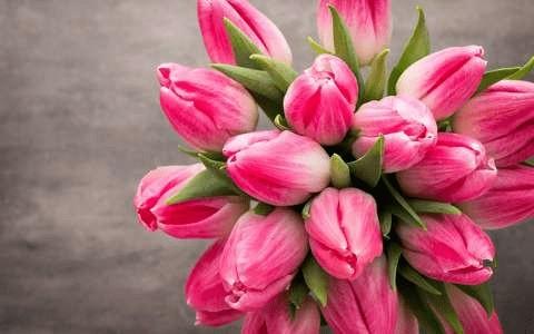 valentines-pink-tulips