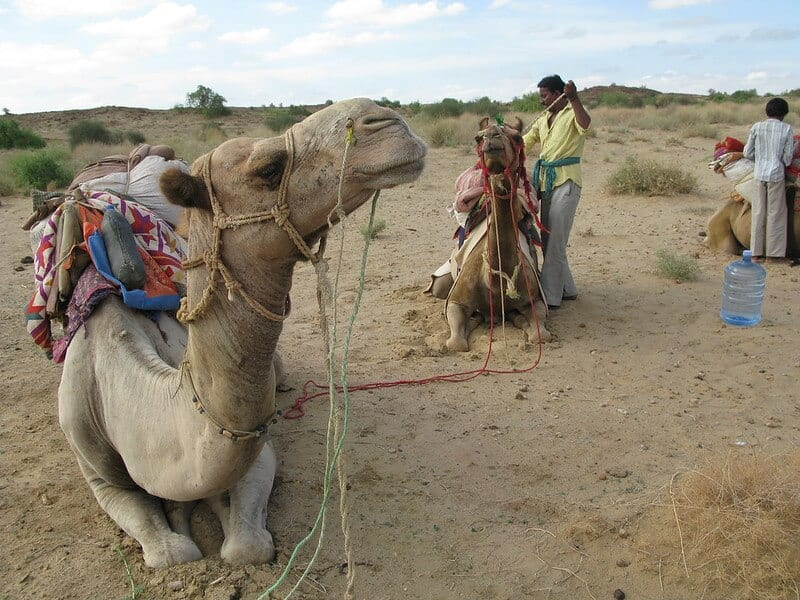 Camel Safari - Thar Desert in India