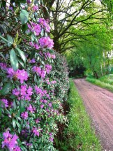 Rododendrons in de Honingstraat