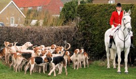 english-and-american-foxhound-dog-breeds-apart-of-strong-hunting-breeds