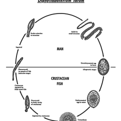 Inside Of A Worm Diagram Block Home Automation System Science Art 5257 Life Cycle Diphyllobothrium Latum