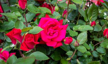 red-roses-OPT