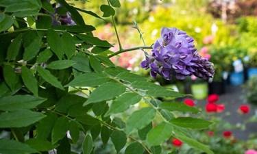 wisteria-OPT