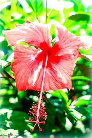 Raiatea - Jardin botanique-Hibiscus