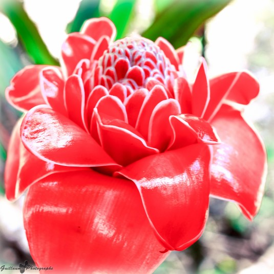 Raiatea - Jardin botanique-Rose de porcelaine