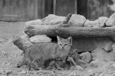Chat du désert