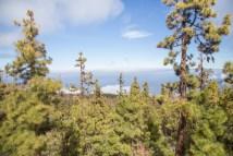 Bosque de pino canario en las Cañadas del Teide.