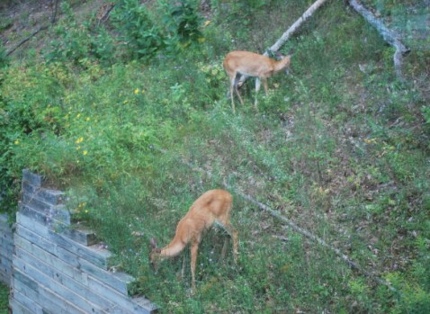 Two Bambi, or is it Bambi's