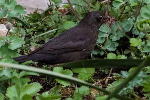 blackbird-317125_640