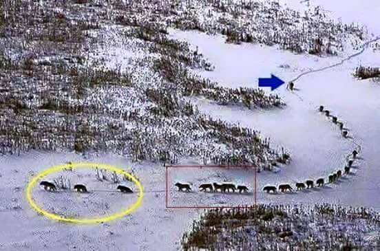 kelompok-serigala