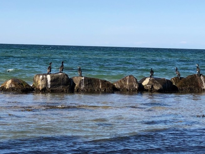 Skarver Udsholdt Strand