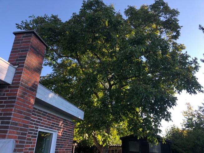 Valnødde træ