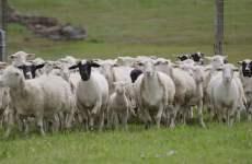 Saudi investment firm buys Australian farmland, sheep