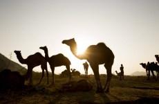 Deadly MERS Coronavirus Found in Camels on Qatari Farm
