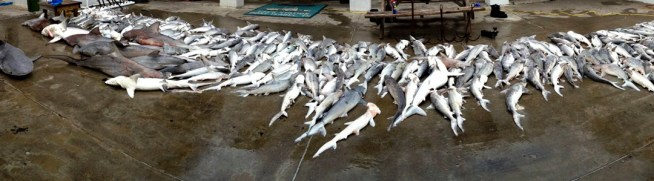 Approximate 350 dead sharks lay on the ground outside of Coast Guard Station South Padre Island after their boat crew located a 5-mile-long gill net floating 4 miles offshore. Photo: U.S. Coast Guard