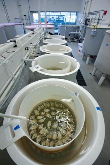 UNCW Oyster Lab_093l