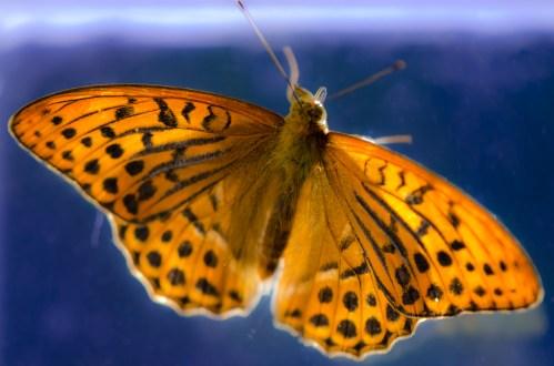 Pärlemorfjäril med backlight